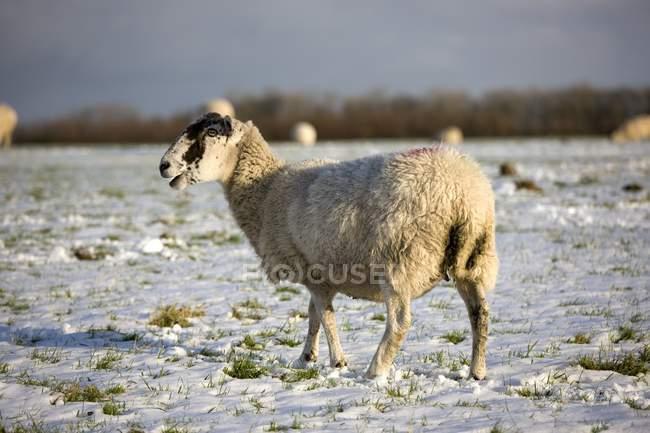 Schafe weiden im winter — Stockfoto