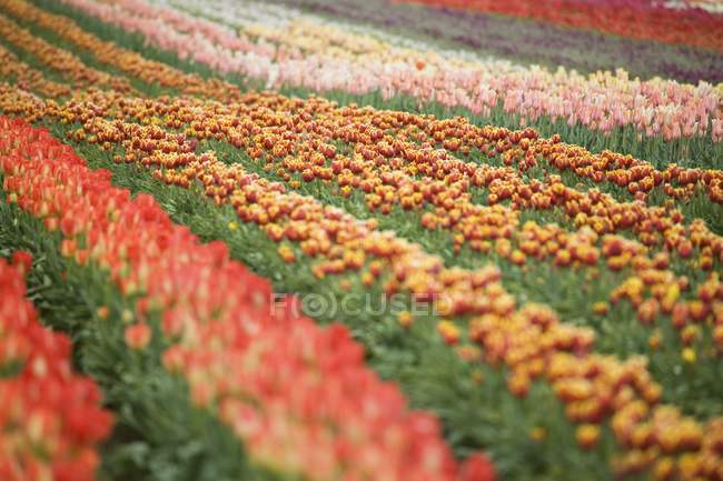 Colorful Tulip Field — Stock Photo
