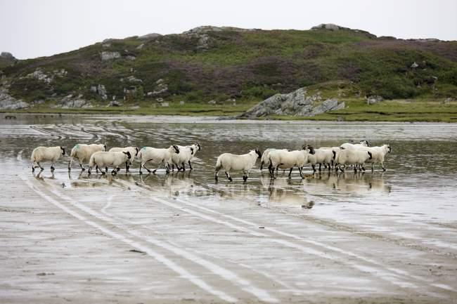 Овцы в воде, Колонсей, Шотландия — стоковое фото