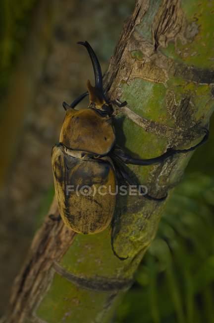 Escarabajo elefante en árbol - foto de stock