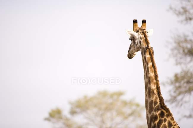 Giraffa, Arathusa Safari Lodge — Foto stock