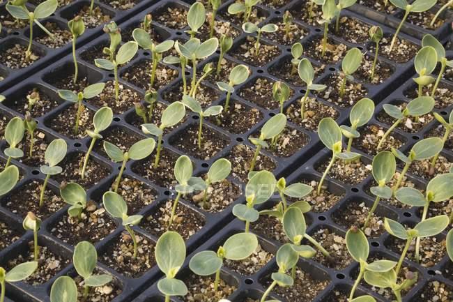 Primo piano delle piantine che crescono in serra — Foto stock