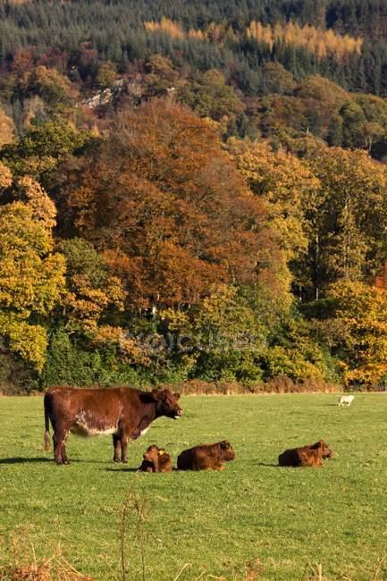 Rinder in Wiese im Herbst — Stockfoto