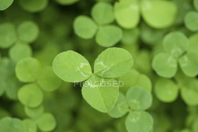 Feuilles de trèfle vert — Photo de stock