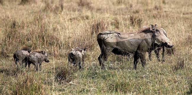 Warthogs, Lake Nakuru — Stock Photo