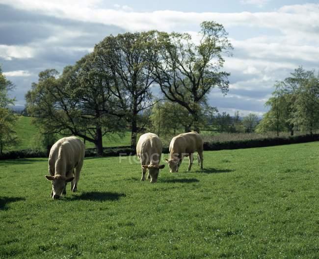 Pastoreio de ovinos no campo — Fotografia de Stock
