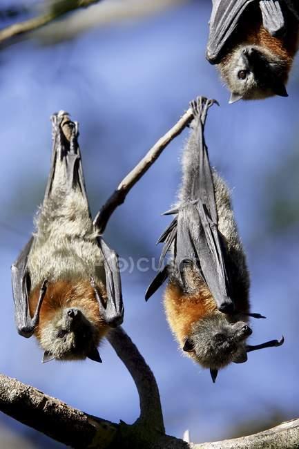 Серый возглавлял летучая лисица — стоковое фото