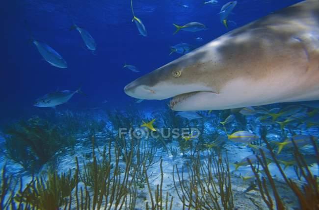Tiburón limón bajo el agua - foto de stock