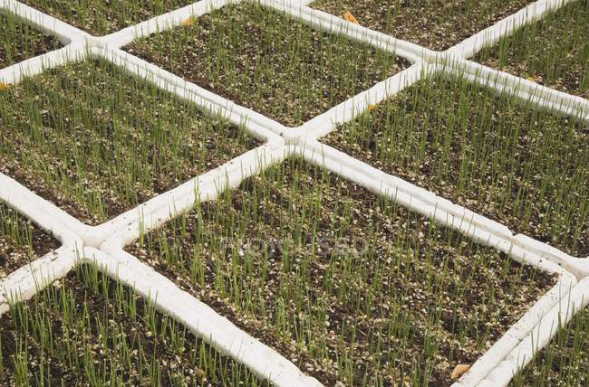 Seedlings growing in trays in commercial greenhouse — Stock Photo