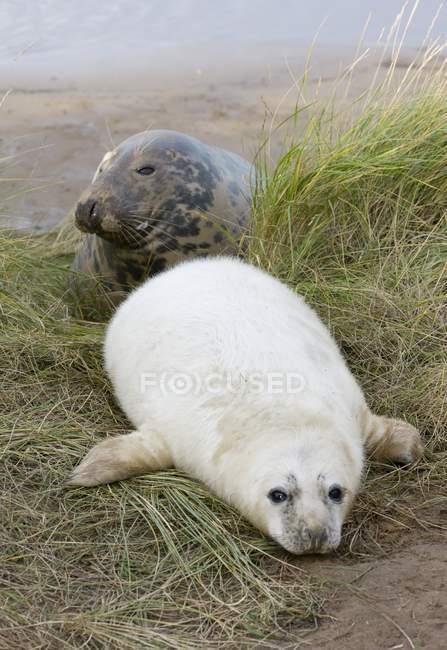 Foca grigia e cucciolo di foca — Foto stock