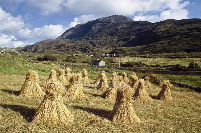 Traditional Farming, Wheat Stooks; Ireland — Stock Photo