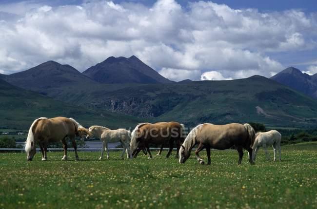 Коні випасу; Керрі Co — стокове фото