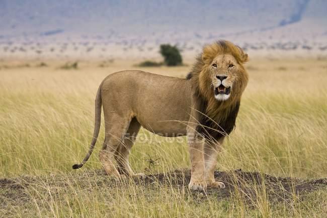 Leone, Riserva Nazionale Masai Mara — Foto stock