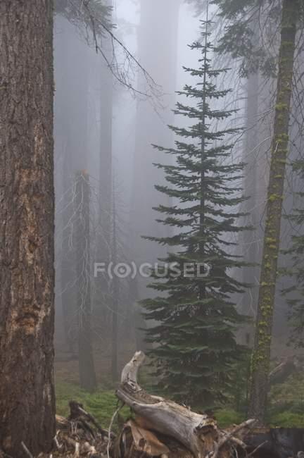 Дерева в Національний парк Секвойя — стокове фото