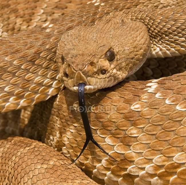 Close up of  Red-Diamond Rattlesnake — Stock Photo