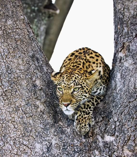 Леопард на дереве — стоковое фото