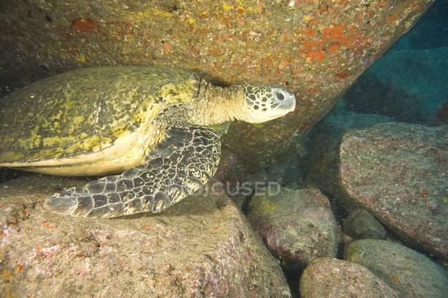 Grande tortue de mer verte — Photo de stock