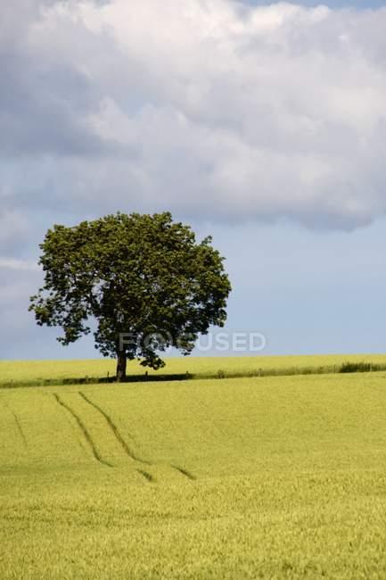 Campo di grano con albero — Foto stock
