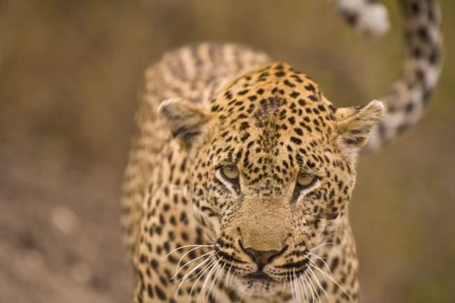 Леопард, глядя на камеру — стоковое фото