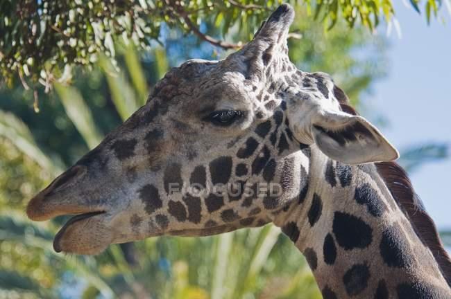 Забавный жираф, Калифорния, США — стоковое фото