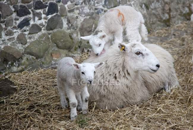 Ovelhas e seus cordeiros — Fotografia de Stock
