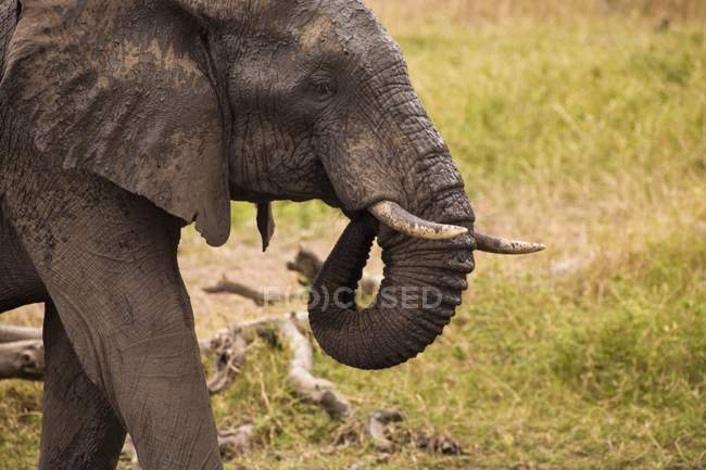 African Elephant, Arathusa Safari Lodge — Stock Photo