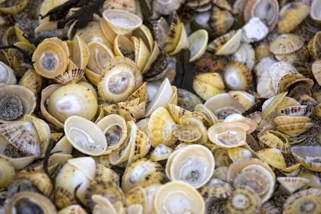 Vicino di conchiglie di mare — Foto stock