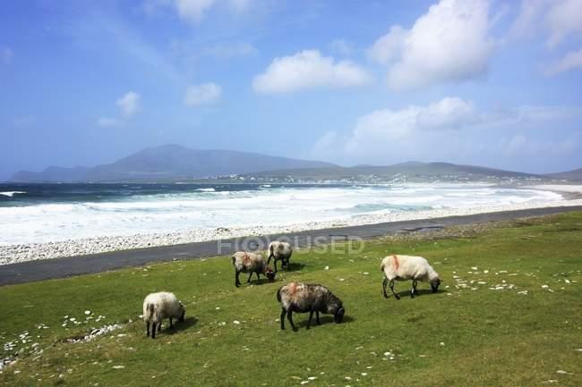 Овець в Achill острів — стокове фото