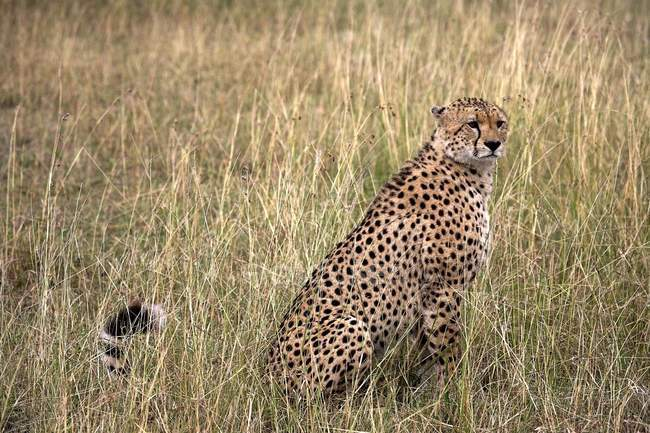 Geparden im Masai-Mara-Nationalpark — Stockfoto