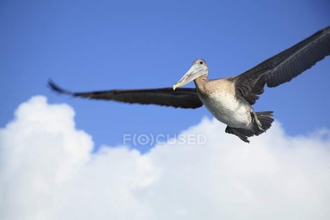 Volo nel cielo del pellicano — Foto stock