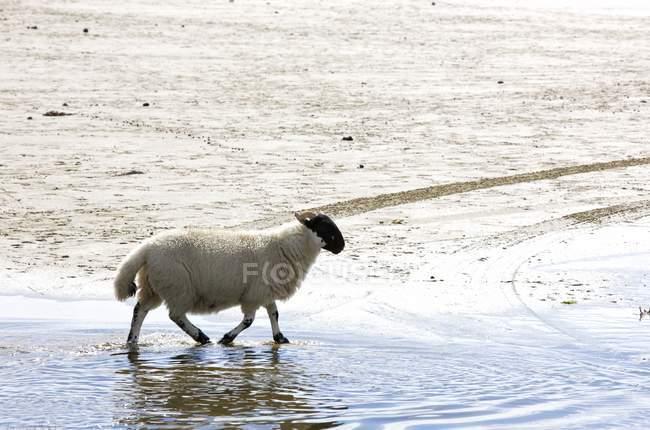 Schafe, die zu Fuß in Wasser — Stockfoto