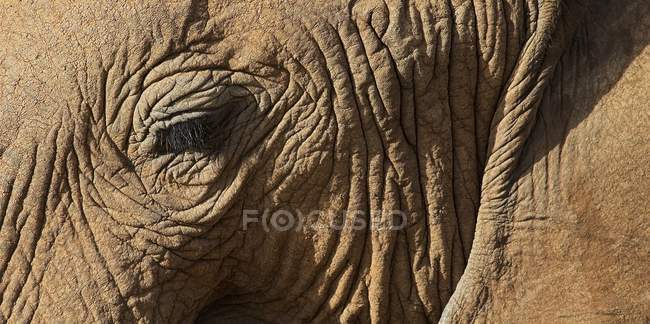 Close up of African Elephant — Stock Photo