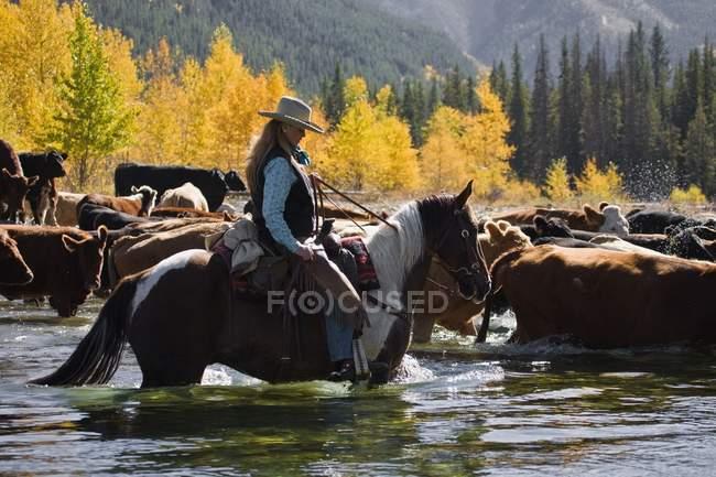 Cowgirl mandria bovini attraverso il fiume — Foto stock