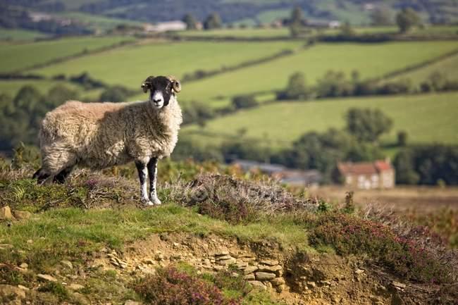 Schafe, North Yorkshire, England — Stockfoto