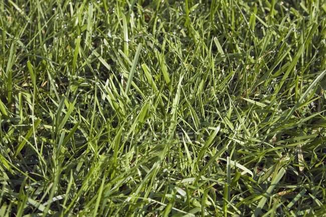 Крупным планом Блуграсс газон фон — стоковое фото