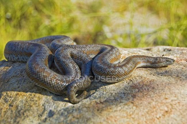 Close up of  Rosy Boa — Stock Photo