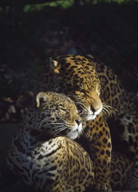 Leopard im Zoo Dublin — Stockfoto