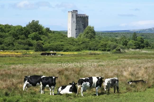 Bovins Holstein-Friesian près de Corrofin — Photo de stock
