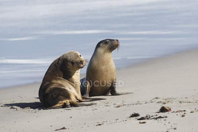 Australische Seelöwen — Stockfoto