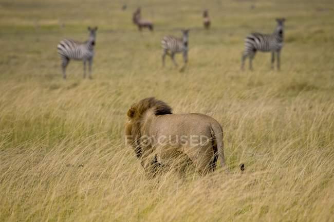 Löwe, Masai-Mara-Nationalpark — Stockfoto