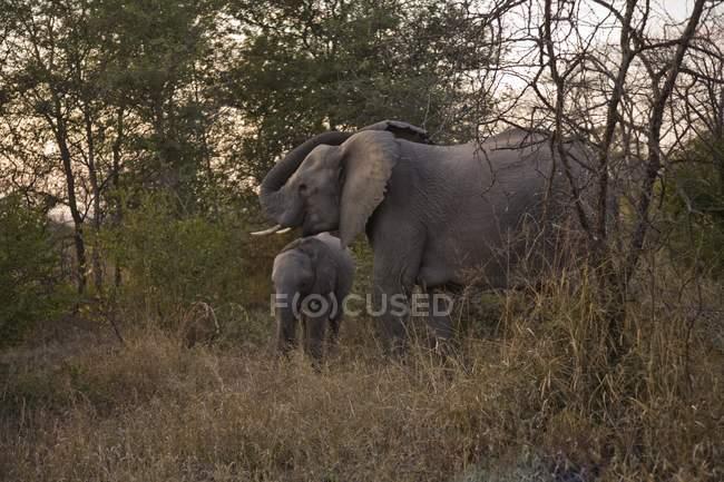 Elefantes africanos, Arathusa Safari Lodge — Fotografia de Stock