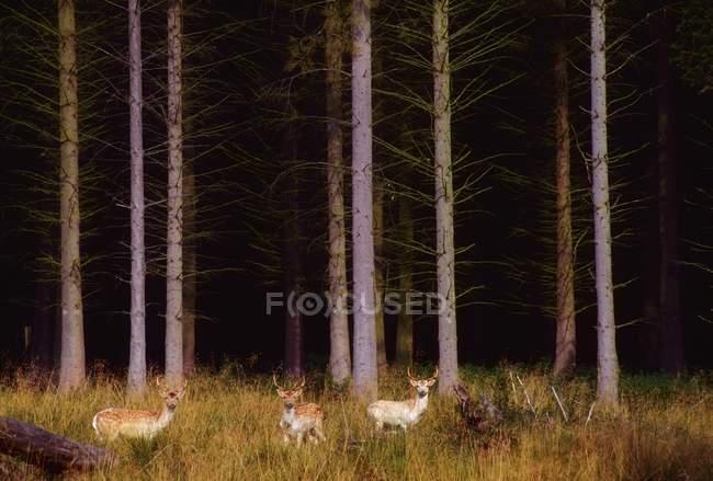 Veado em Randalstown Forest — Fotografia de Stock