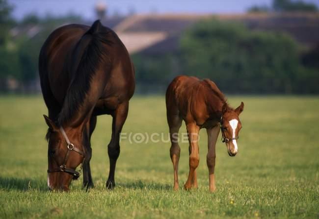 Vollblutpferde auf dem Feld — Stockfoto