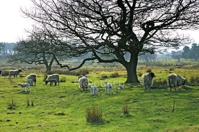 Pastoreio de ovelhas em um pasto — Fotografia de Stock