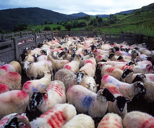 Bonane, ovejas; El Condado de Kerry - foto de stock