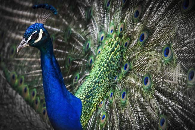 Pavo real azul con cola coiored sobre fondo oscuro durante el día - foto de stock