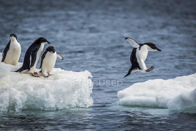 Пінгвіни, стоячи на льоду над морською водою, поки один з них стрибки серед лід штук — стокове фото