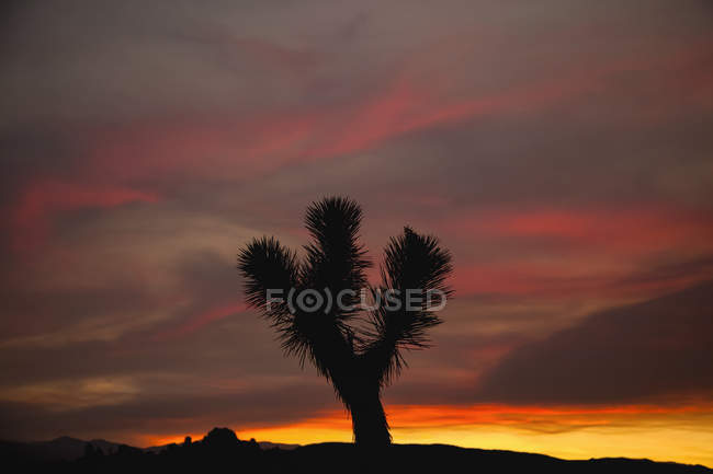 Joshua Arbre Solitaire (Yucca Brevifolia) Silhouette Contre Un Ciel Coloré Juste après Le Coucher Du Soleil Dans Le Parc National De Joshua Tree ; Californie, États-Unis D'amérique — Photo de stock
