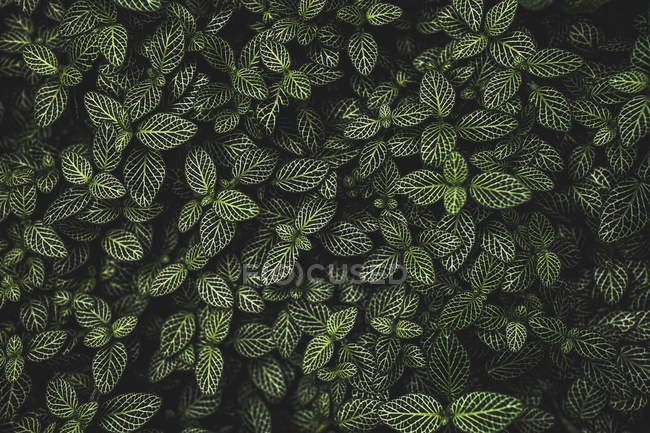 Overhead view of green leaves on bush over dark background — Stock Photo