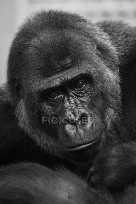 Black and white picture portrait or gorilla  looking at camera — Stock Photo
